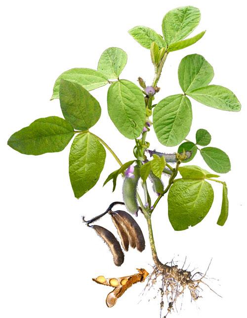 Le soja ou soya : aliment-santé durable