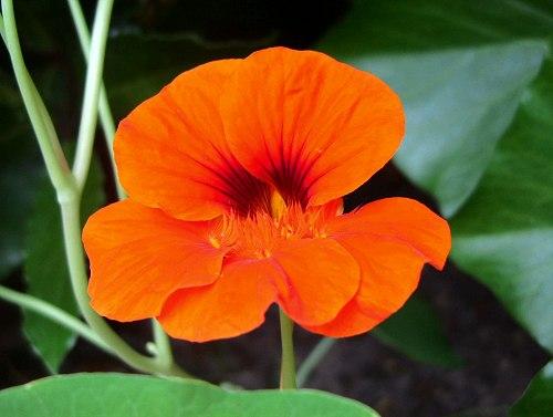 La Capucine Une Fleur Apéritive Et Digestive